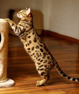 Foto: DGC Leopardcats Xtreme´s Masterpiece (Coco). August 2012 fotografiert von Nadine Haase.
