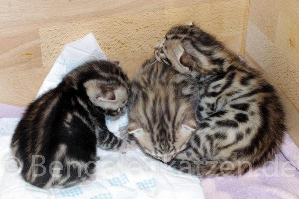 wurf-kitten-alice-jalapeno-1