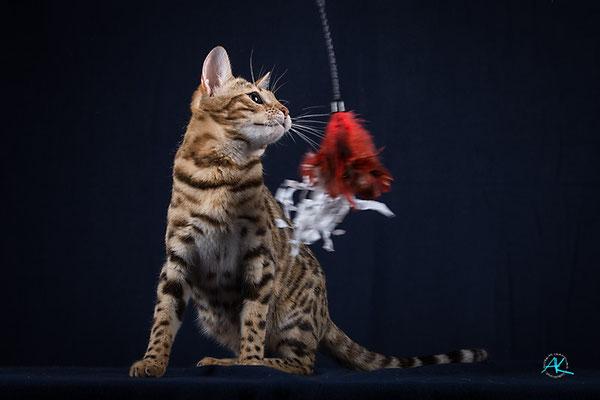 Bengalenkatzen brauchen ausreichend Spiel-Einheiten.