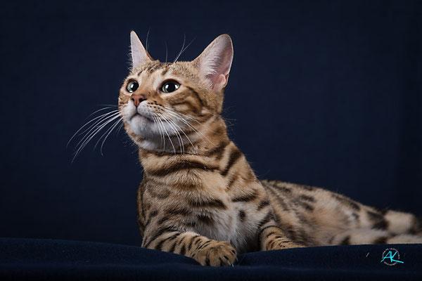 Bengalkatzen werden im Schnitt zwischen 12 und 18 Jahre alt.