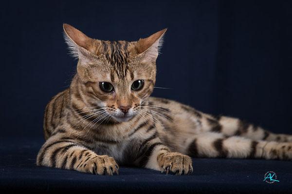 Bei einer Bengalkatze fallen neben dem Kaufpreis auch laufende Kosten an.