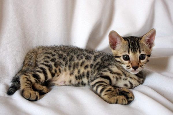Die Bengalkatze verliert weniger Haare und Hautschuppen als andere Katzen.