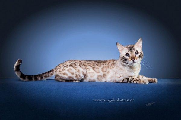 Hier findest Du die wichtigsten Informationen zu Bengalkatzen.
