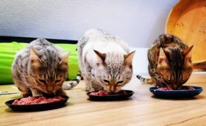 Die richtige Ernährung für Bengalkatzen