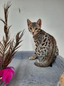 Kitten Mädchen Basia x Pidou