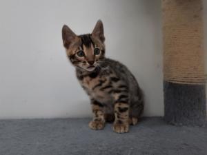 Kitten Kater Dahlia x Hail