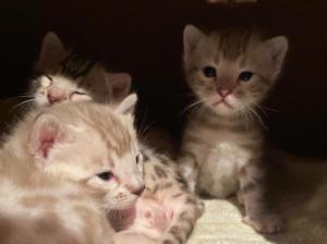 Kitten Silvertrace Uraya x Leopardcats Jalapeno of Spice