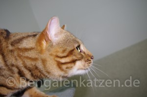 kater-bengal-brown-jalapeno-leopardcats-1