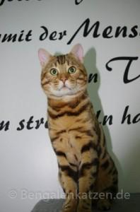 kater-bengal-brown-jalapeno-leopardcats-2