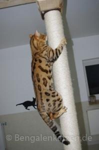 kater-bengal-brown-jalapeno-leopardcats-4
