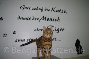 kater-bengal-brown-jalapeno-leopardcats-5