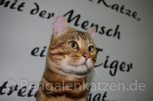 kater-bengal-brown-jalapeno-leopardcats-6