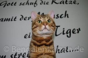kater-bengal-brown-jalapeno-leopardcats-7