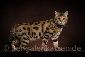 kater-bengal-brown-jalapeno-leopardcats-9