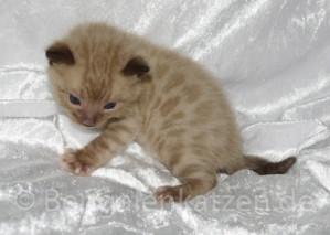 wurf-kitten-jolie-leo-snow-bengal-17