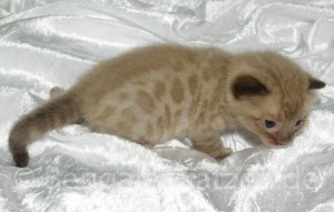 wurf-kitten-jolie-leo-snow-bengal-18