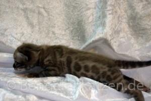 wurf-kitten-jolie-leo-snow-bengal-3