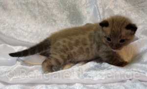 wurf-kitten-jolie-leo-snow-bengal-5
