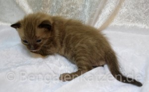wurf-kitten-jolie-leo-snow-bengal-6